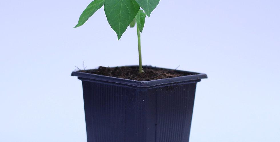Ancho Poblano - Chilipflanze