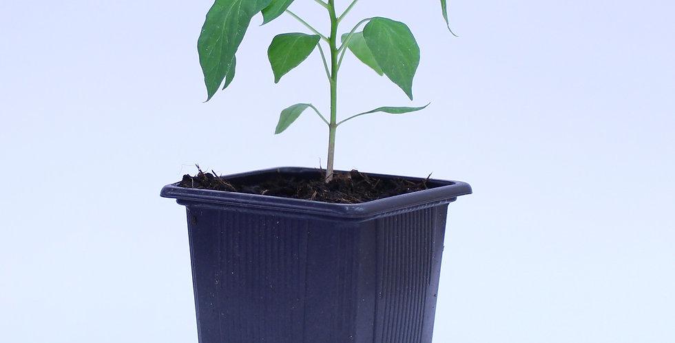 Serrano - Chilipflanze