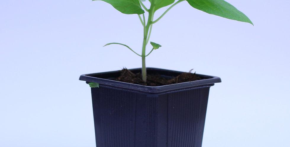 Rocoto Large Red - Chilipflanze