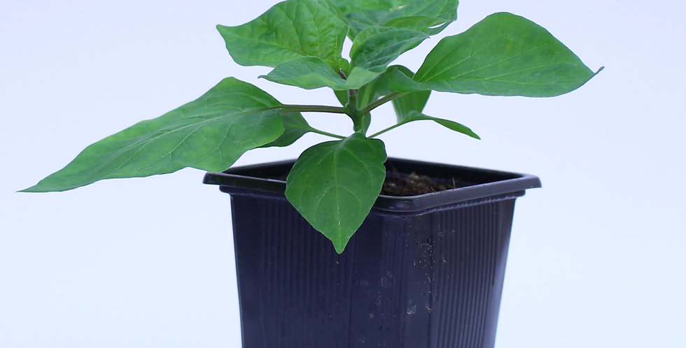 Scotch Bonnet Yellow - Chilipflanze