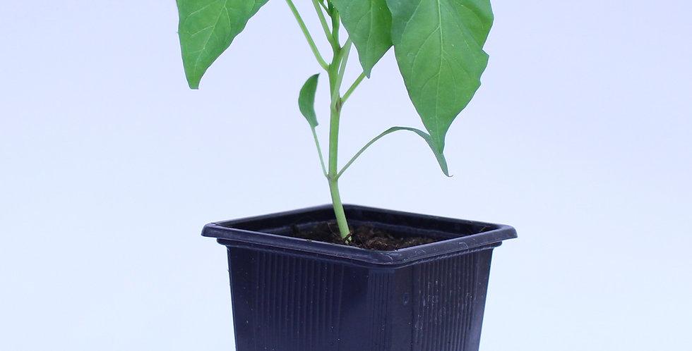 Chocolate Beauty Paprika - Chilipflanze
