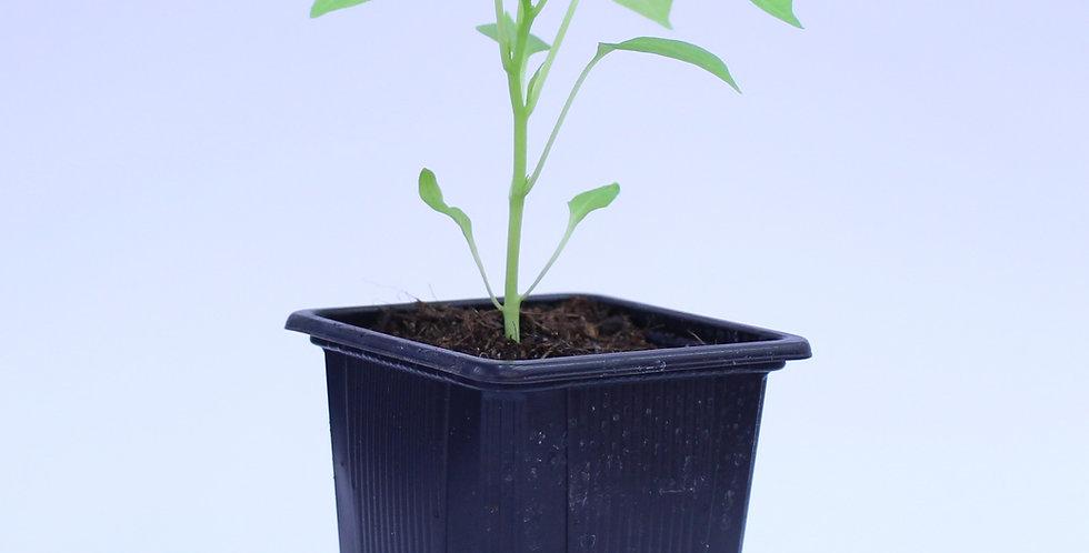 Peter Pepper Orange - Chilipflanze