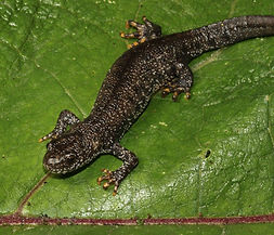 Crested Newt Surveys Staffordshire, Herefordshire, Derbyshire, Nottinghamshire