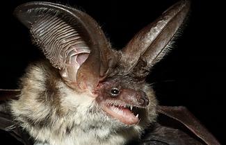 Bat Surveys Staffordshire, Herefordshire, Derbyshire, Nottinghamshire