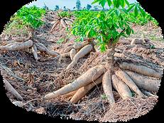 Cassava Field.png