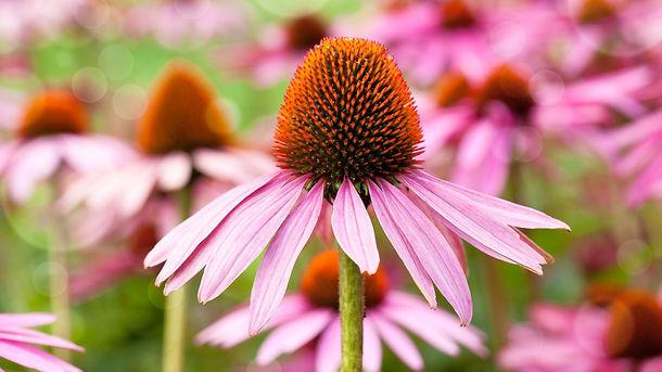 equinacea-planta-medicinal-1280x720x80xX