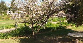 St Monnica's Tree