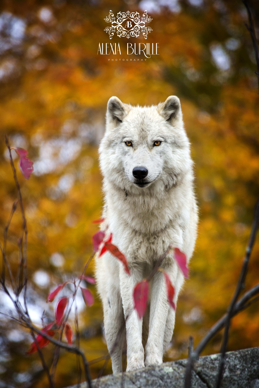 Loup Canada