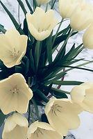 tulipani1.jpeg