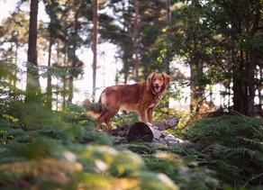 Mijn jachthond blijft een jachthond