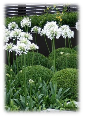 Agapanthus Africanus / Lily of the Nile