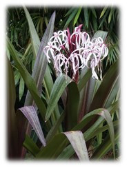 Crinum augustum / Queen Emma Crinum Lily