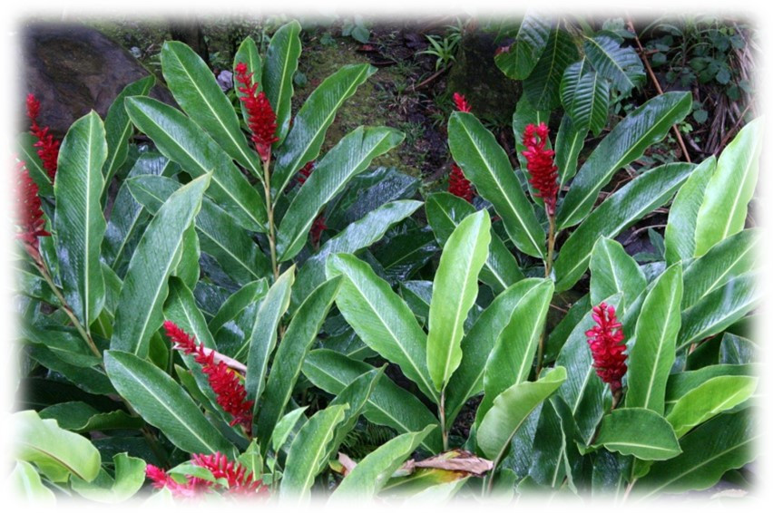 Red ginger is tropical and showy, Ft. Lauderdale, FL