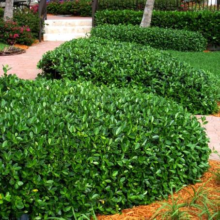 Ficus Microcarpa/Green Island Ficus
