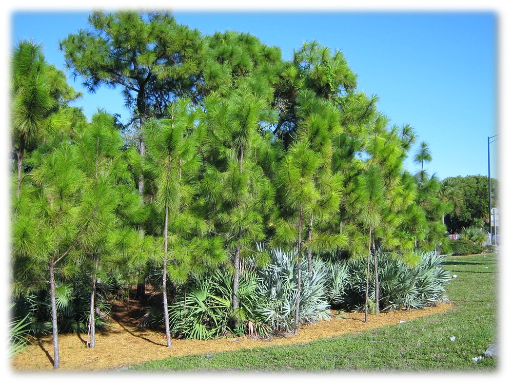 NATURAL GROUPING OF SLASH PINE WITH SAW PALMETTO