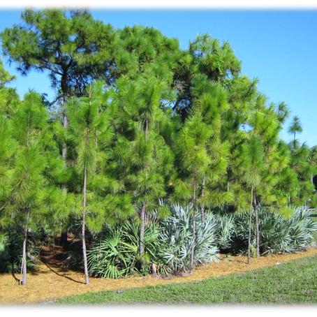 Pinus Elliottii / Slash Pine