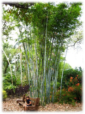 Bambusa chungii /Tropical Blue Bamboo