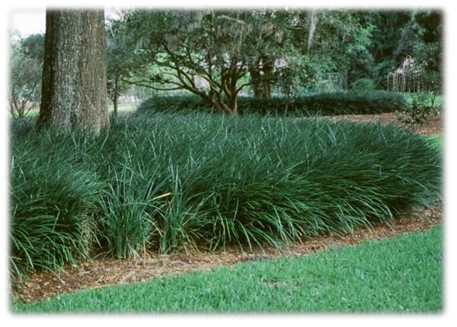 Established bed of evergreen giant Broward County, FL