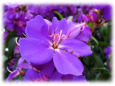 Tibouchina granulosa/Purple Glory Tree