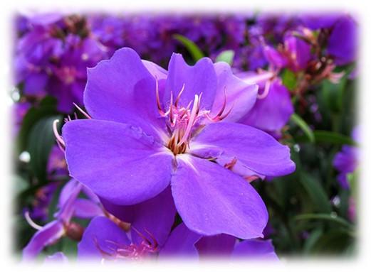Close up of tibouchina flower, Palm Beach, FL