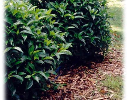 Psychotria nervosa / Wild Coffee