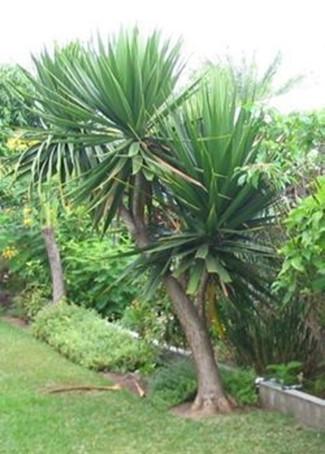 Dracaena arborea / Dragon Tree