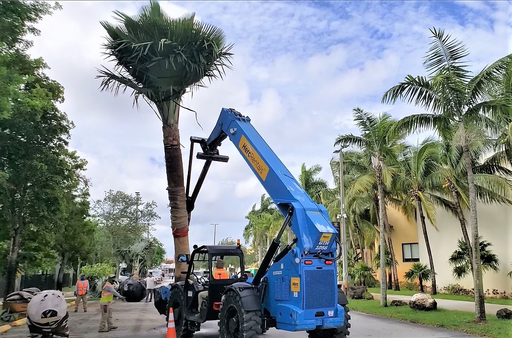 Heavy equipment moved the massive palms to the planting site.