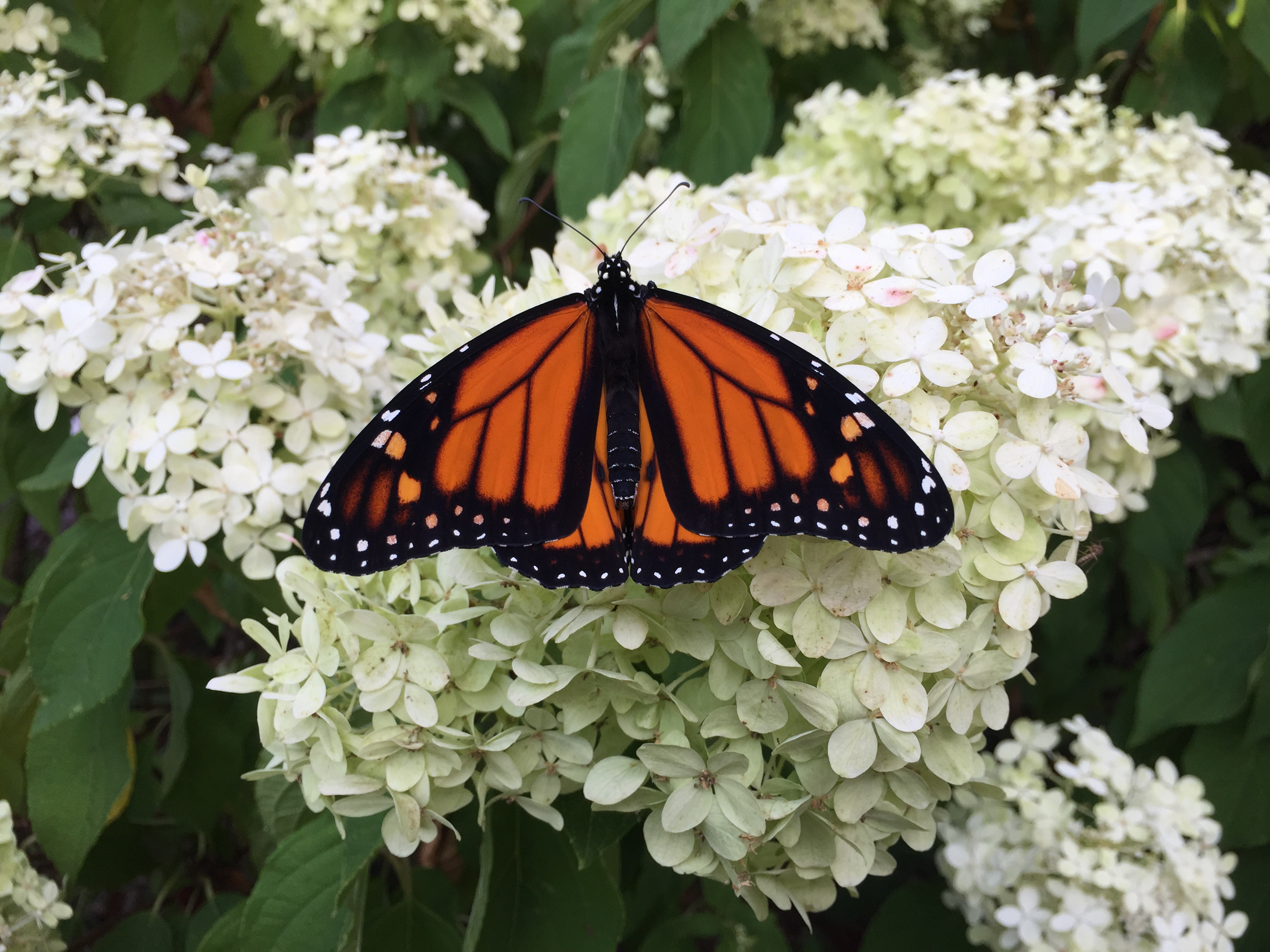 male monarch on hydrangea
