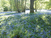 woodland_Virginia_bluebells.jpg