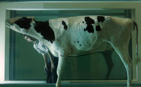 Vaca pode?