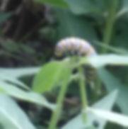 Caterpillar 2 2019.jpg