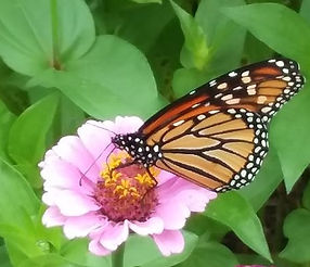 Monarch 2018.jpg