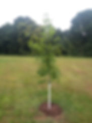 Oak tree planting 2018.jpg