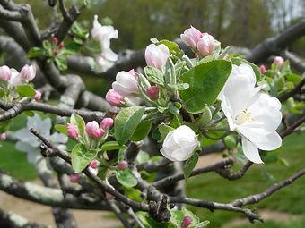 Apple blossoms 2018.JPG