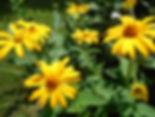 Heliopsis.jpg