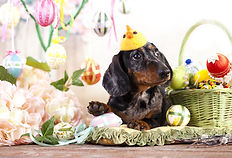 Dachshund rabbit and Easter eggs.jpg