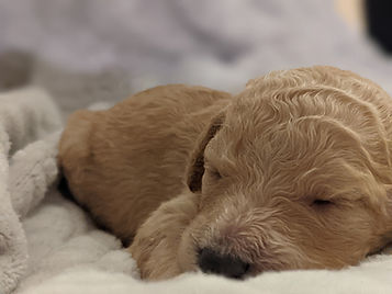 Bigelow Poodles Puppy | Apricot Dog