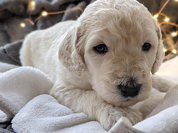 Bigelow Poodles Puppy | Cream Dog