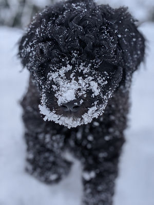 Bigelow Poodles Puppy in Snow | Black Dog
