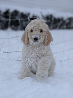 Bigelow Poodles Puppy in Snow | Cream Dog for Sale