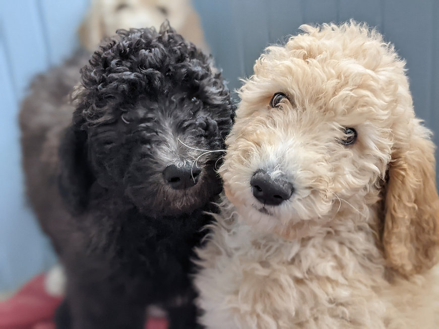Two Poodle Puppies for Sale | Black and Apricot