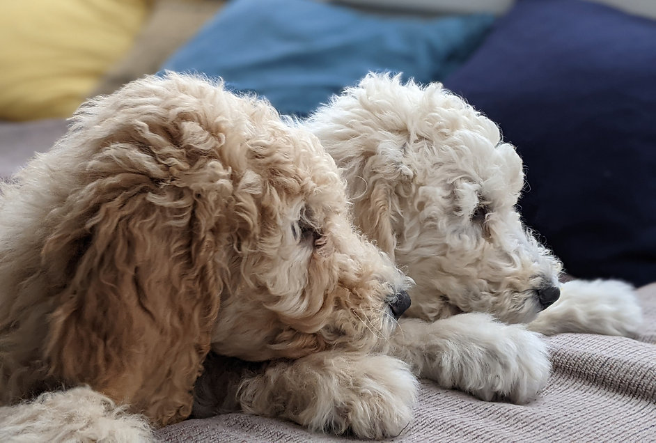 Bigelow Poodle Puppies for Sale