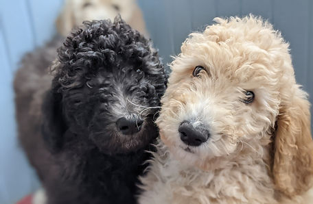 Bigelow Poodles Puppies | Black and Apricot Dogs