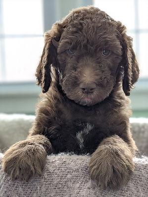 Bigelow Poodles Puppy   Chocolate Dog