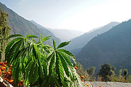 Hemp plant with mountain view and blue s