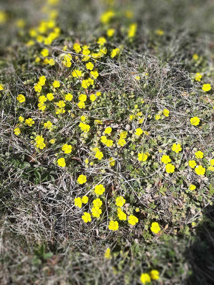 Żółte skalniaki