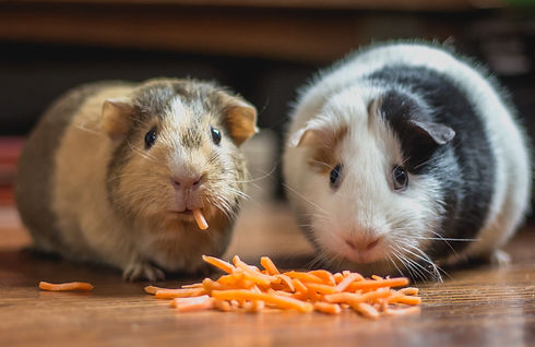 two guinea pigs eating cheese_edited.jpg