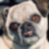 Salon Pug