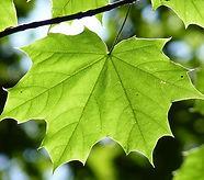 maple-leaf-888807_640.jpg