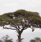 acacia-1510898_1920.jpg